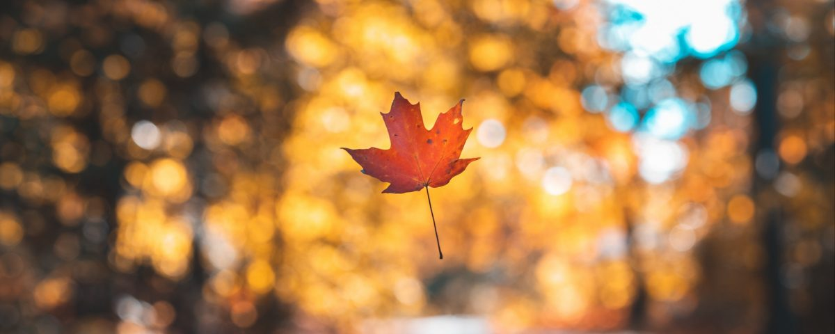 Maple Leaf Floating in Air