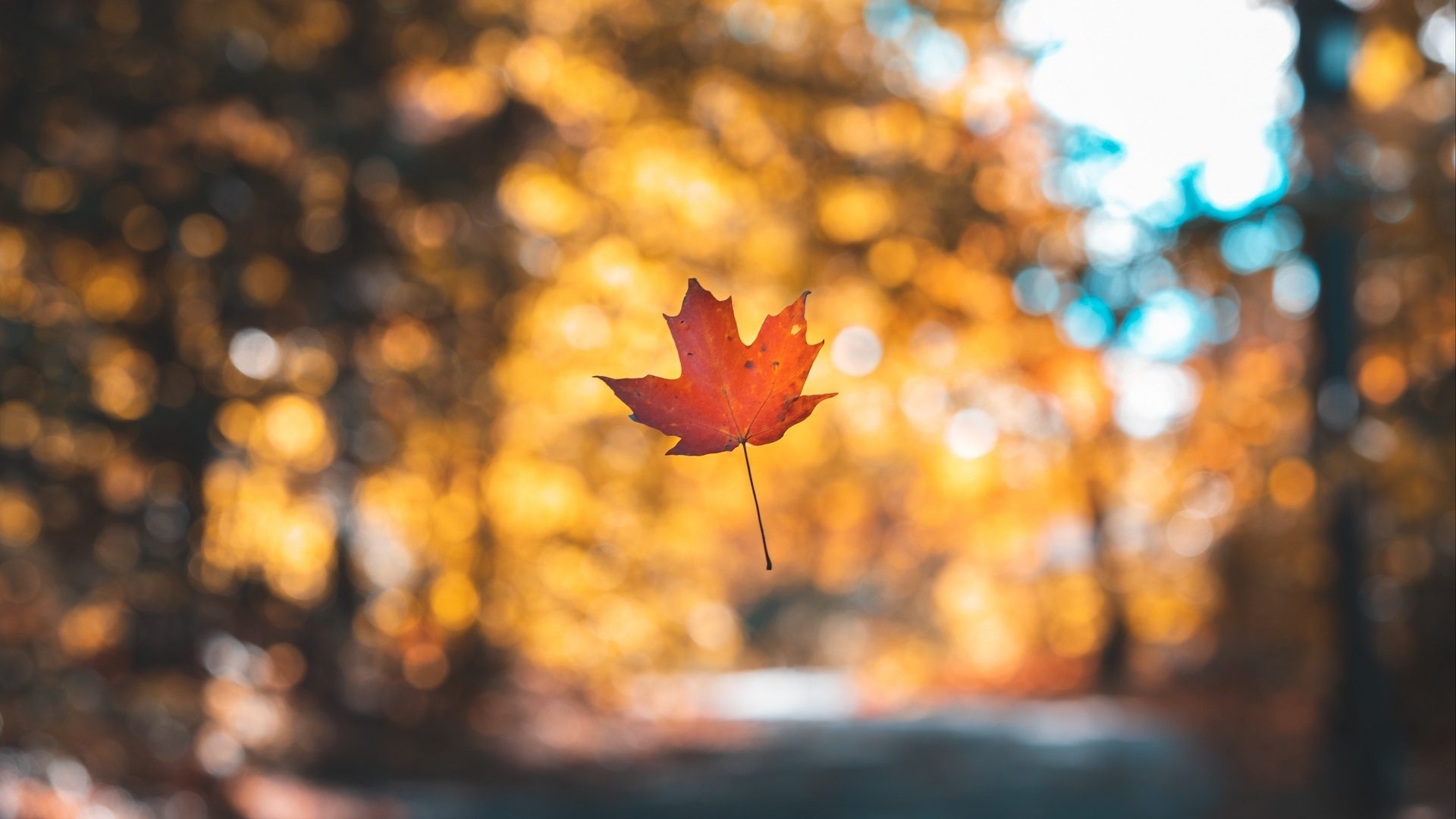 Maple Leaf Wallpaper Hd Wallpapers Stores