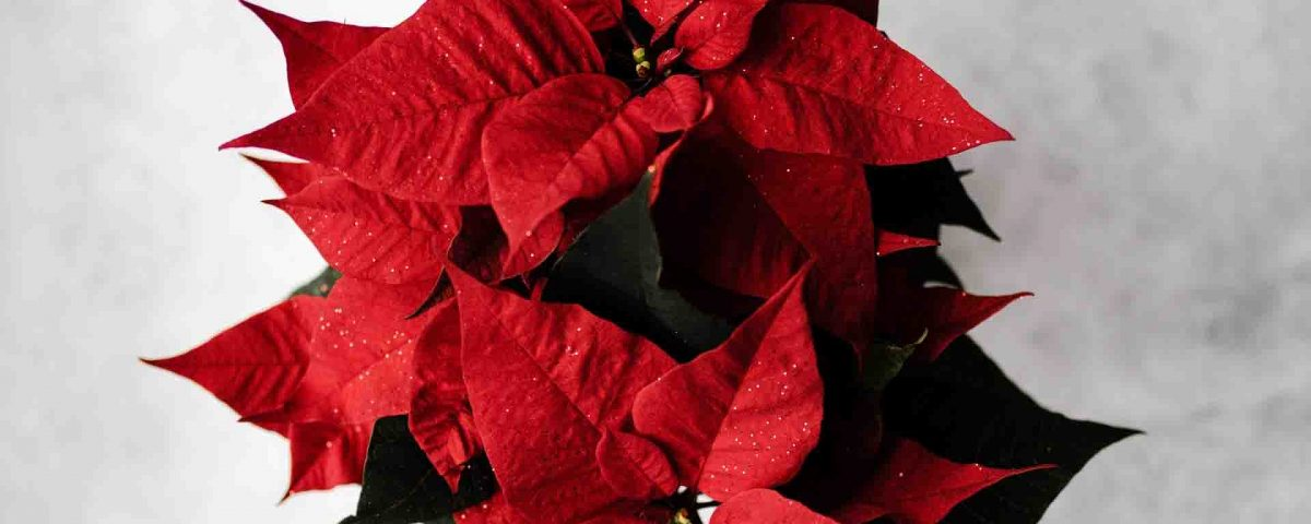 Poinsettia Red Flowers