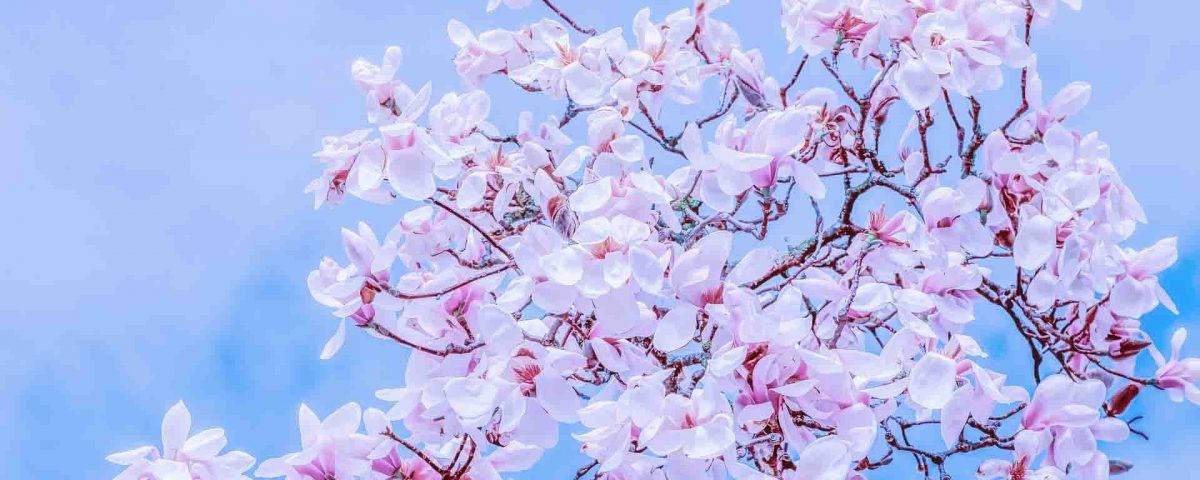 Magnolia Purple Flowers With The Blue Sky On Their Back