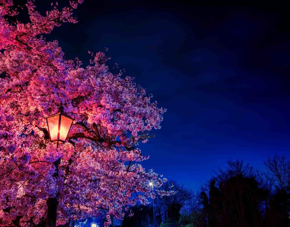 Sakura Tree In Japan At Night With A Lantern