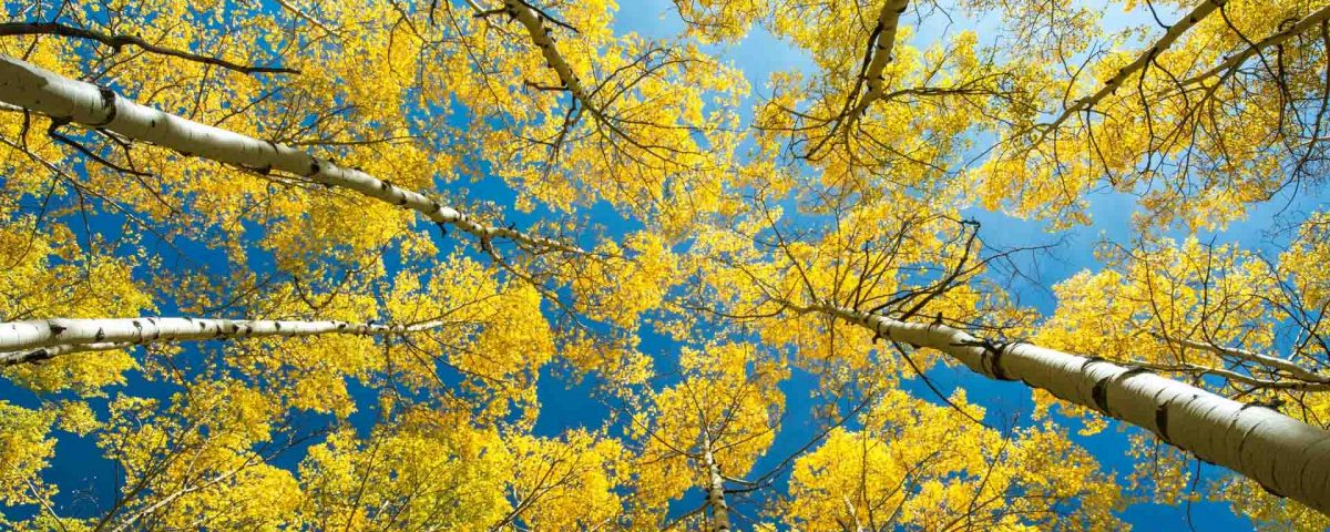 Birch Trees And Beautiful Blue Sky