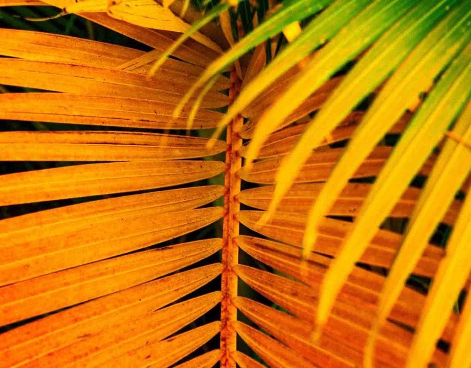 Care For Dypsis Lutescens Palm Leaves