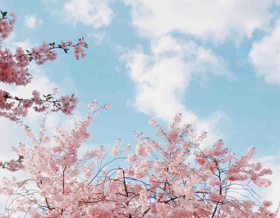 Cherry Blossoms Trees In Spring With Blue Sky