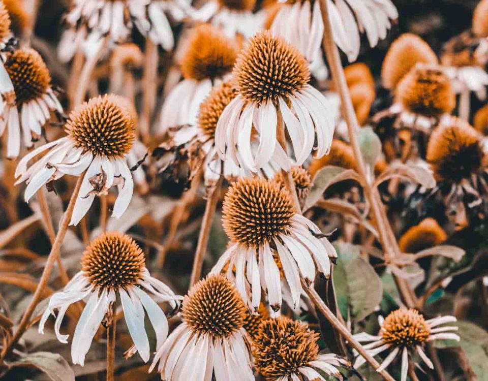 Genus Rank Flowers Echinacea